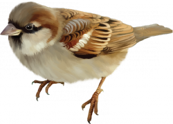 sparrow PNG11